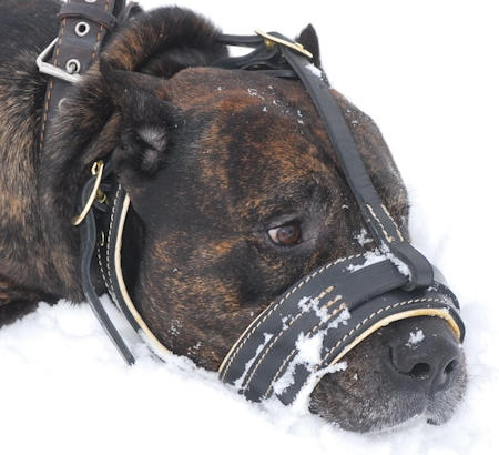 Cane Corso Mastiff leather dog muzzle padded with soft nappa leather