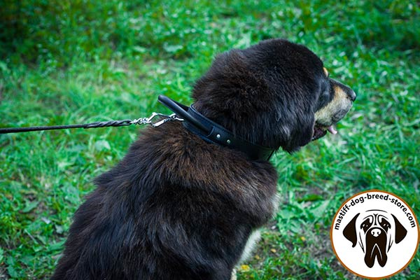 Leather canine collar for Mastiff with durable D-ring for leash fixation