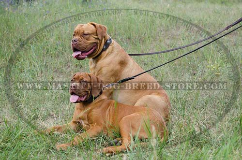 Walking Leather Collar for Dogue De Bordeaux