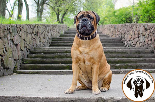 Comfy-to-wear wide leather Bullmastiff collar adorned with pyramids