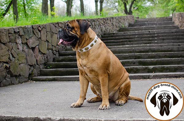 Riveted leather Bullmastiff collar for walking