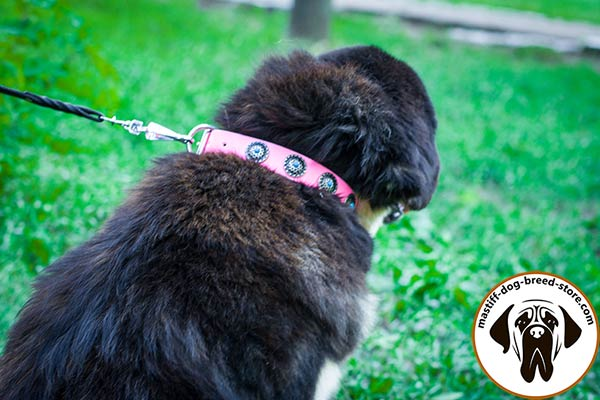 Rich-looking pink leather Mastiff collar with nickel plated hardware
