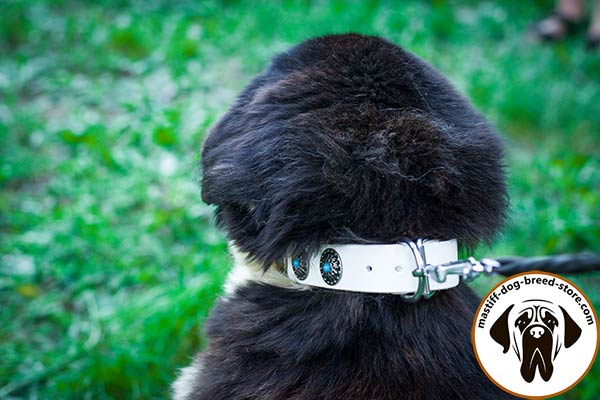 Fancy leather Mastiff collar with nickel plated hardware