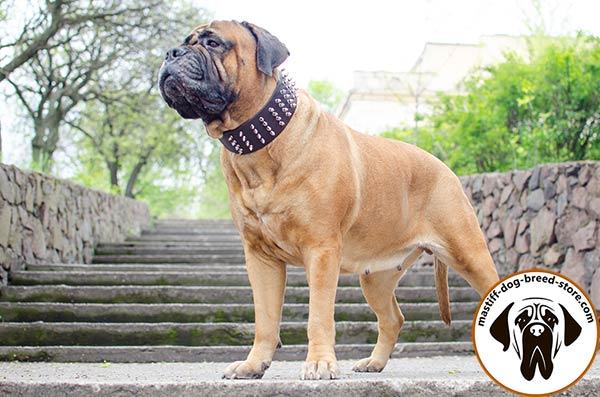 Fancy leather canine collar for Bullmastiff with shiny decoration