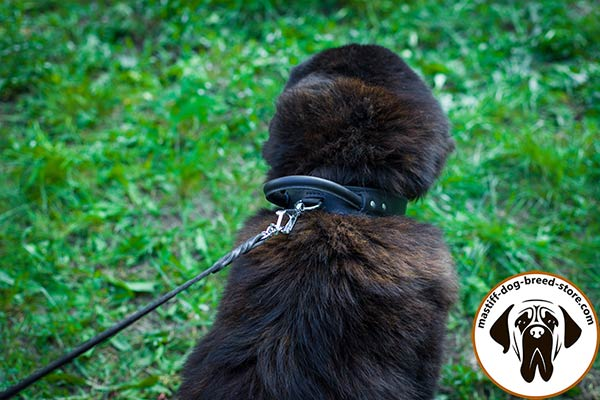 Comfy-to-use leather canine collar for Mastiff with D-ring for leash attachment