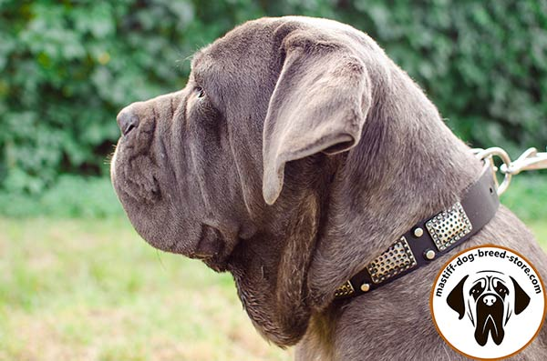 Up-to-trend leather canine collar for Mastino Napoletano with plates and pyramids