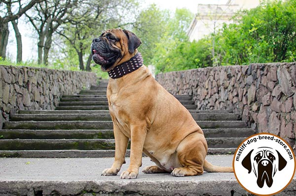 Leather dog collar for Bullmastiff with rust-proof adornment