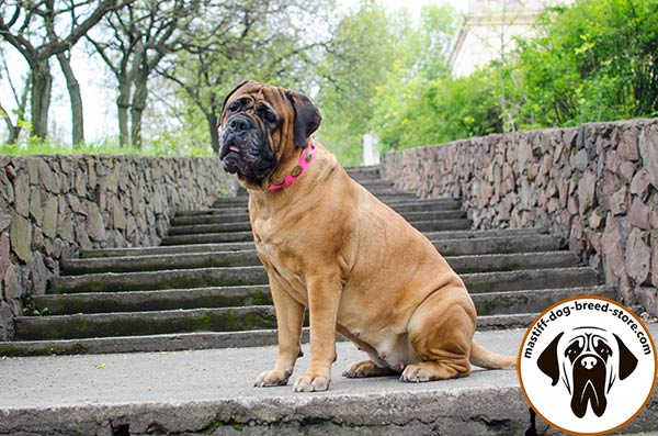 Decorated leather dog collar for Bullmastiff