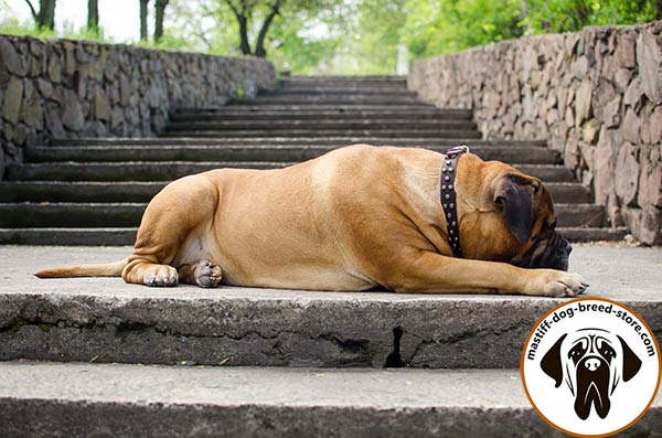 Luxurious leather dog collar for Bullmastiff walking