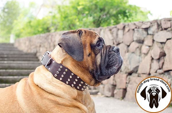 Fancy leather dog collar for Bullmastiff with shiny pyramids