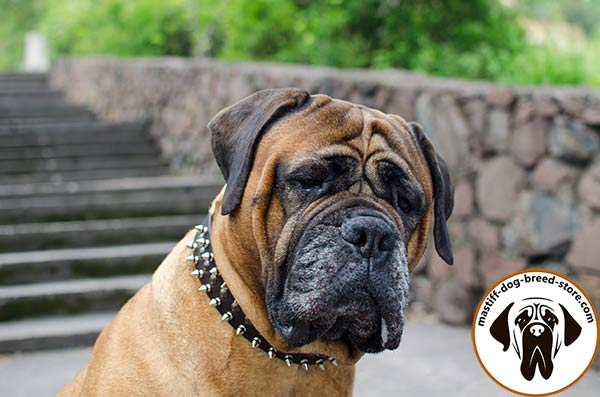 Amazing leather dog collar for Bullmastiff with spikes and half-spheres