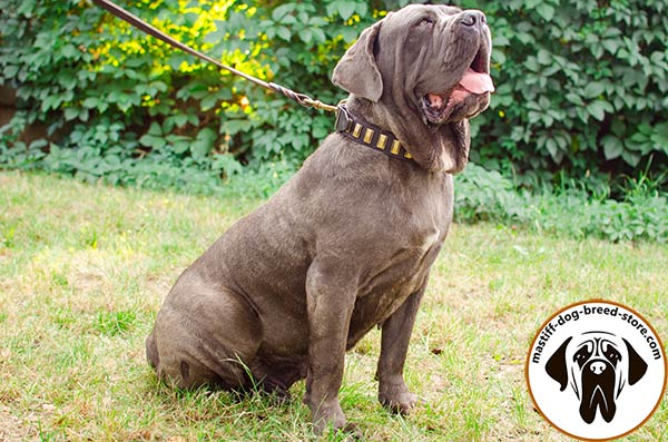 Rich-looking leather Mastino Napoletano collar with plates