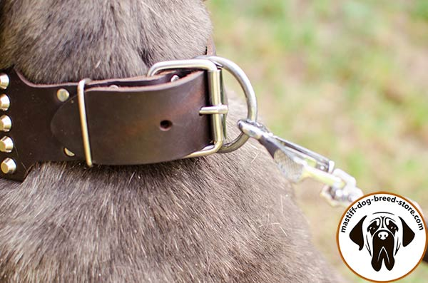 Tear-proof leather dog collar for Mastino Napoletano with nickel plated hardware