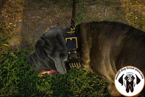 Spiked wide leather dog collar for Mastino Napoletano with massive buckle