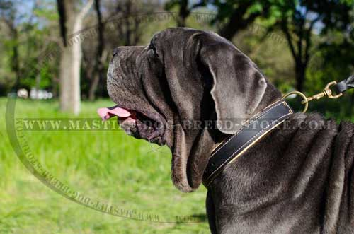 Nappa Padded Leather Collar for Mastino Napoletano Mastiffs