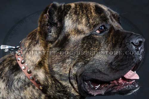 Leather Canine Collar for Mastiff Breed