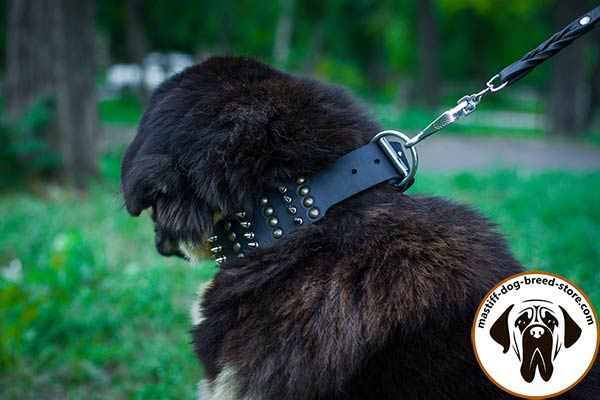 Mastiff black leather collar wide decorated with half-balls and spikes for perfect control