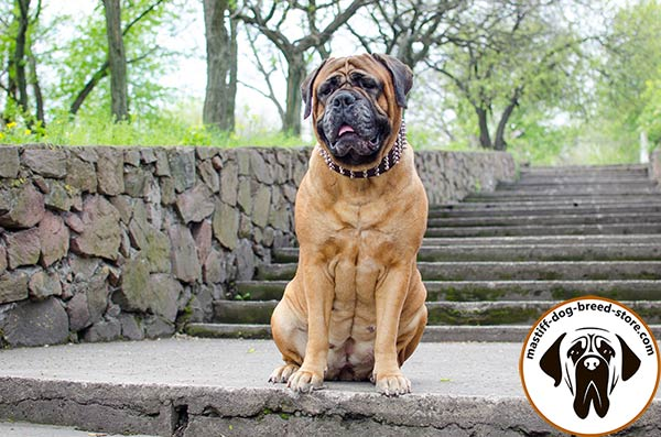Mastiff brown leather collar snugly fitted decorated with spikes and studs  for walking