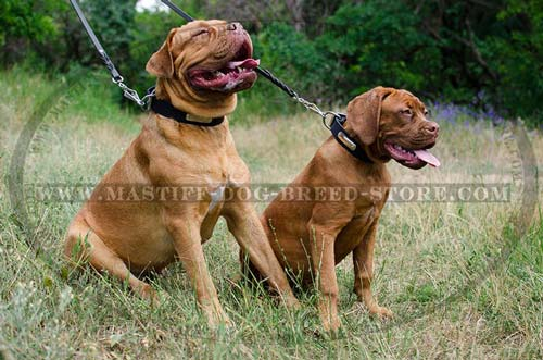 Dogue de Bordeaux Mastiff Leather Collar with Nickel Plate
