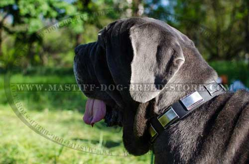 Gorgeous Collar for Mastino Napoletano Mastiff