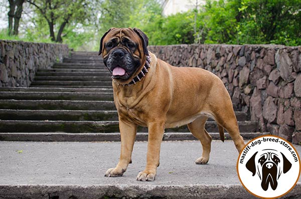 Elegant wide leather Bullmastiff collar with handset spikes