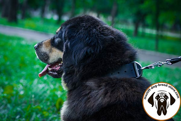 Exceptional leather Mastiff collar for effective training