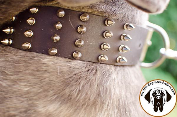 Close-up of extraordinary spiked leather Mastino Napoletano collar