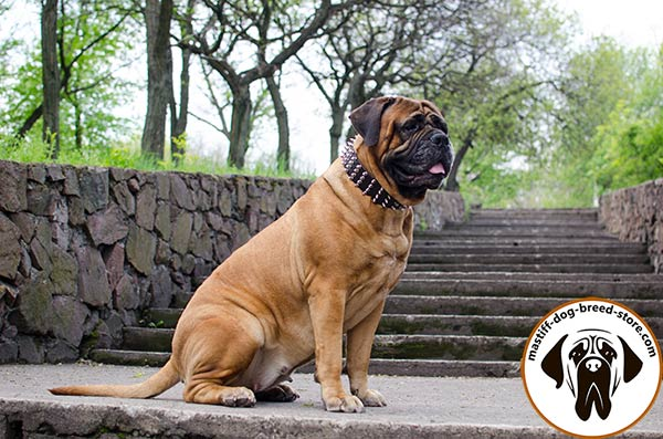 Stylishly adorned extra wide leather dog collar for Bullmastiff
