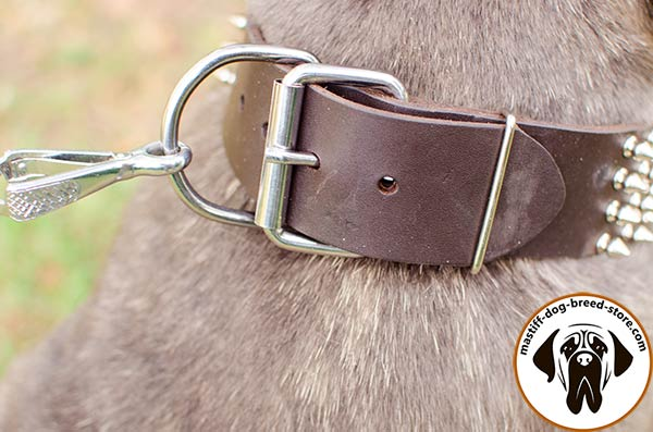 Walking leather dog collar for Mastino Napoletano with massive buckle
