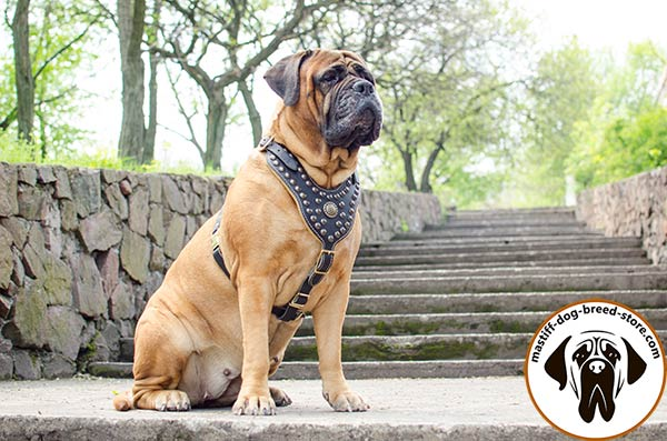 Luxurious leather Bullmastiff harness