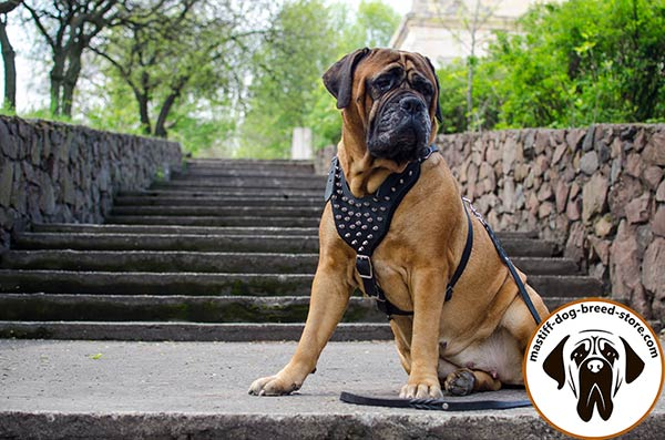 Extraordinary leather Bullmastiff harness with spikes