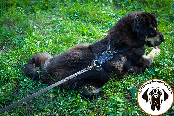 Wear-proof leather Mastiff harness with brass plated D-ring