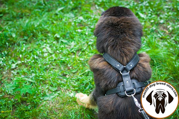 Leather Mastiff harness with D-ring for lead fixation