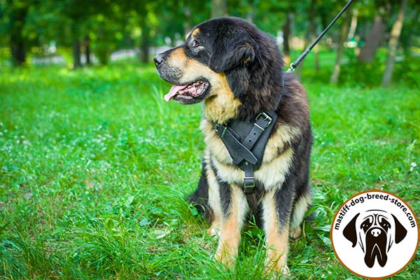Comfy leather Mastiff harness for walking and training