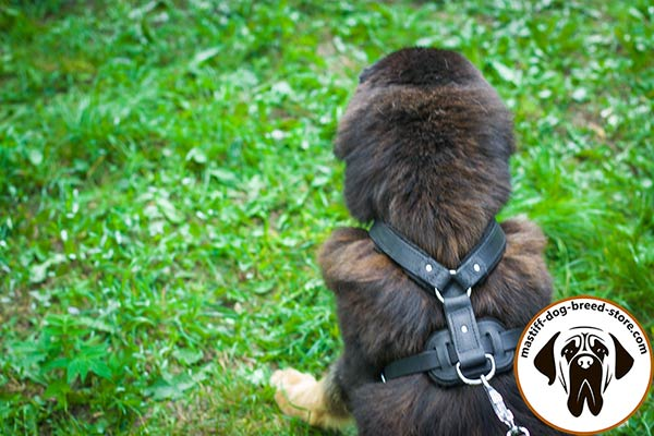 Best-quality leather Mastiff harness with nickel plated hardware