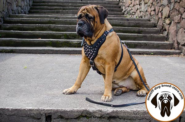 Up-to-trend leather canine harness for Bullmastiff
