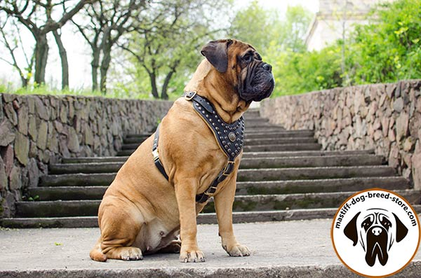 Walking in style leather canine harness for Bullmastiff