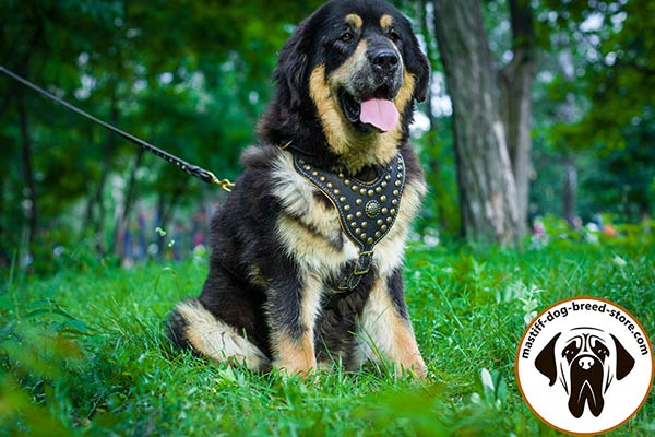 Handmade leather canine harness for Mastiff