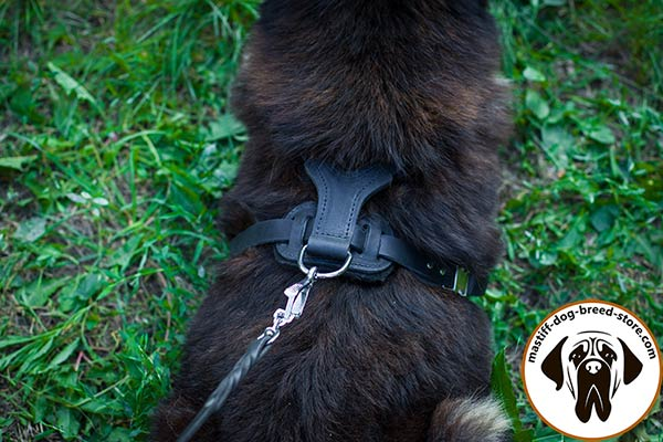 Leather canine harness for Mastiff with nickel plated fittings for comfortable walks