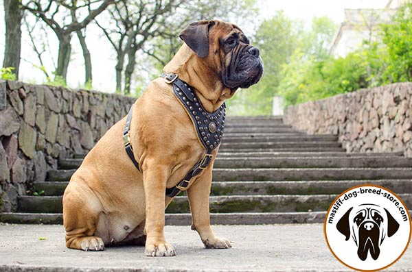 Fashionable leather dog harness for Bullmastiff