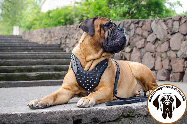 Awesome leather dog harness for Bullmastiff