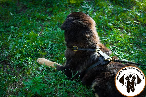 Dog-friendly leather dog harness for Mastiff