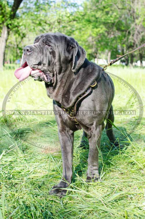 Adjustable Leather Dog Harness for Mastiffs