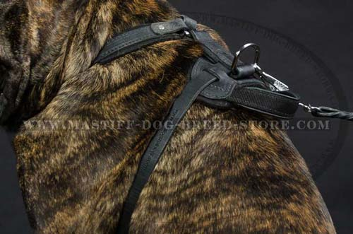 Fast Grab Handle on Leather Mastiff Harness Allows Better Control