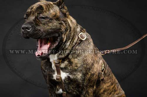 Mastiff Leather Harness for Tracking