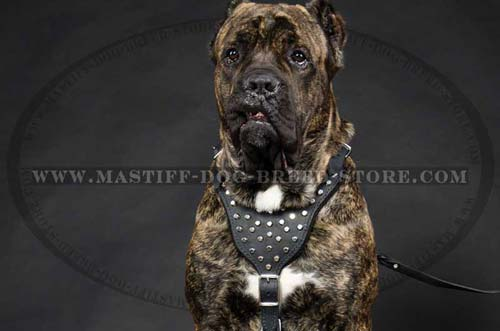 Adjustable Leather Dog Harness with Gorgeous Pyramids for Mastiff Breed