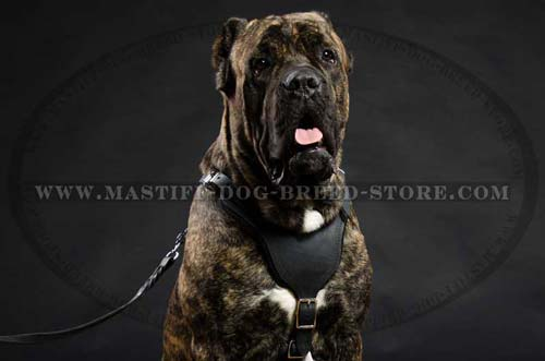 Leather Protection Harness for Mastiff Breed