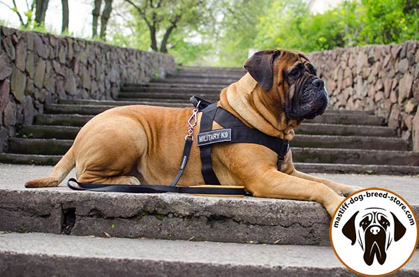 Nylon canine harness for Bullmastiff with ID patches on Velcro