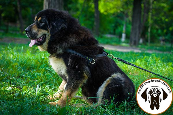 Pulling leather dog harness for Mastiff effective training