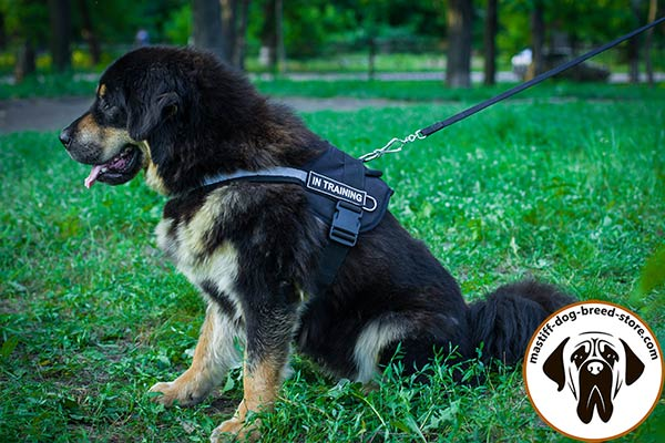 Pulling nylon Mastiff harness with removable patches for easy identification